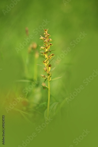 Orchidaceae. The wild nature of the Czech Republic. A rare plant of wild nature. Plant in the grass. Beautiful picture. Spring nature. - 186245113