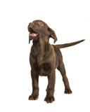 Chocolate labrador retriever puppy standing and looking up isolated on a white background