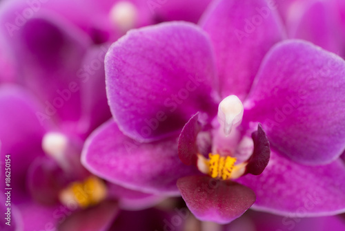 purple mini orchid on a black background - 186250154