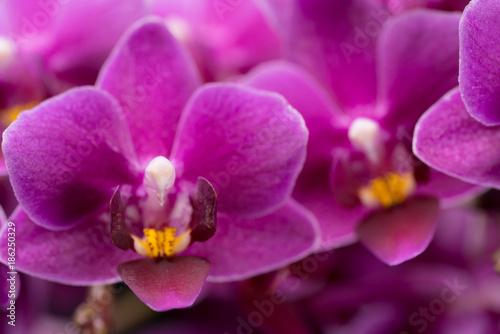 Fototapeta purple mini orchid on a black background