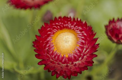 Fotobehang Gerbera close up shot of red daisy