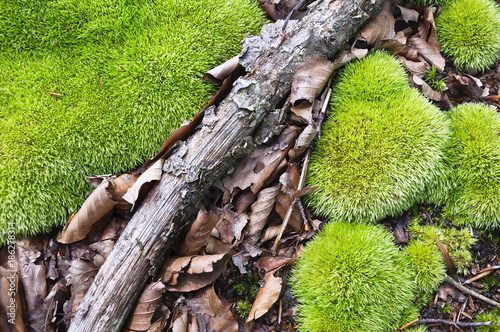 Green clumps of moss with leafs and a stick lying. Forest - 186278314