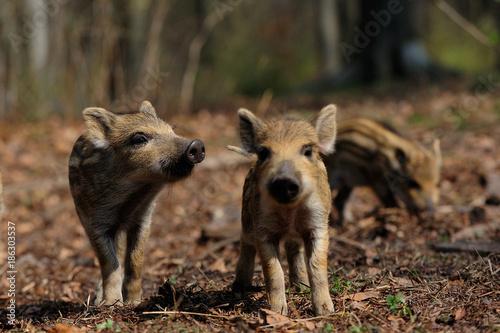 Leinwanddruck Bild Schwarzwild, Frischlinge im Wald, Frühling