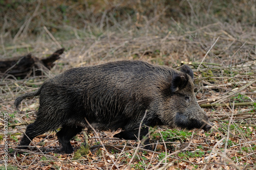 Leinwanddruck Bild Schwarzwild Bache läuft im Wald, Frühling