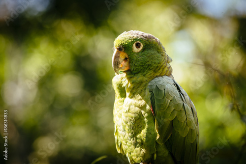 Aluminium Papegaai Portrait of a green parrot in a bird park in north peru/ Tarapoto/ Peru/ South America