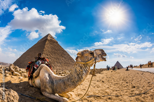 Fotobehang Kameel Camel in the Egyptian desert with the pyramids of Giza in the background