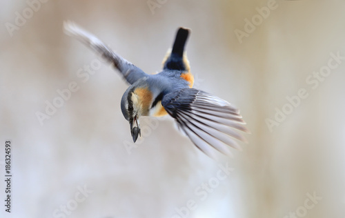 Foto Murales A bird is a nuthatch in flight with a seed in its beak.