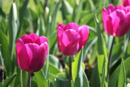 Fotobehang Tulpen tulipes