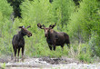 A pair of Moose feeding on willows around a river.