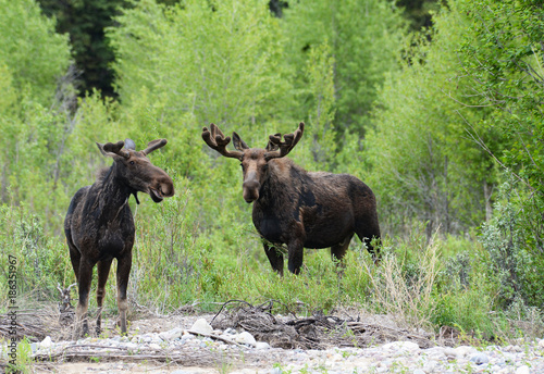 A pair of Moose feeding on willows around a river. - 186351967