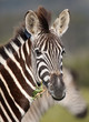 Young zebra with startled look