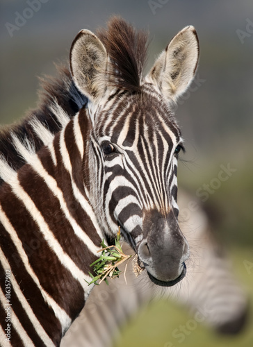 Young zebra with startled look - 186357982