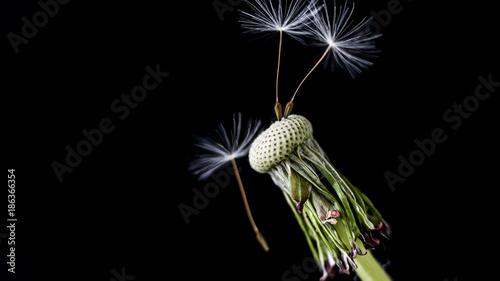 Aluminium Paardebloemen Dandelion