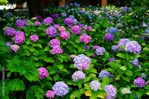 Fotobehang Kyoto 京都智積院の紫陽花