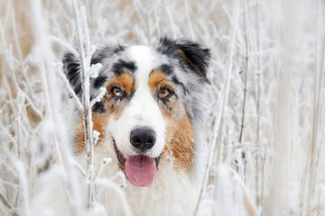 Portrait von einem hübschen Australian Shepherd Hund im Winter zwischen Gräsern mit Raureif