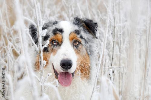 obraz lub plakat Portrait von einem hübschen Australian Shepherd Hund im Winter zwischen Gräsern mit Raureif