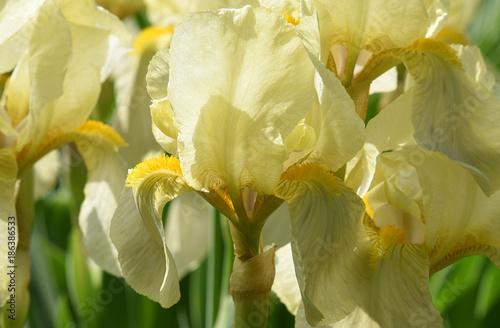 Fotobehang Iris Iris jaune au jardin