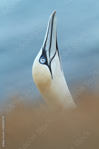 Fotobehang Pinguin Morus bassanus. Helgoland. Photographed in the North Sea. The wild nature of the North Sea. Bird on the Rock. Northern Gannet. The North Sea.