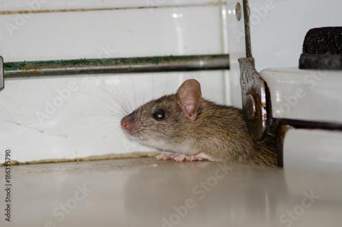 Canvas Canarische Eilanden Black rat (Rattus rattus). Pajonales. Integral Natural Reserve of Inagua. Tejeda. Gran Canaria. Canary Islands. Spain.
