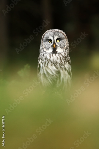 Strix nebulosa. Owl in the wild. Expanded in the north of Europe. Owl portrait. Nature. Owl behind the tree.