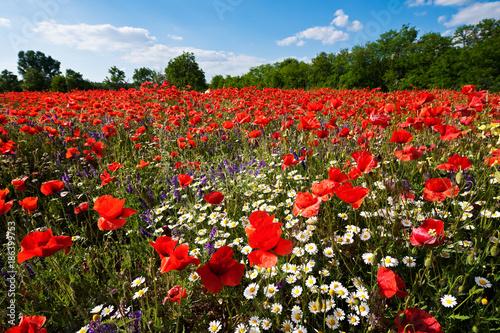 Fotobehang Klaprozen Wild flower field, poppy field