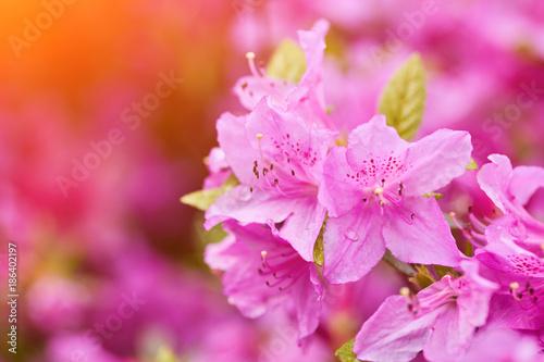 Fotobehang Azalea Blooming pink rhododendron in the garden in springtime.