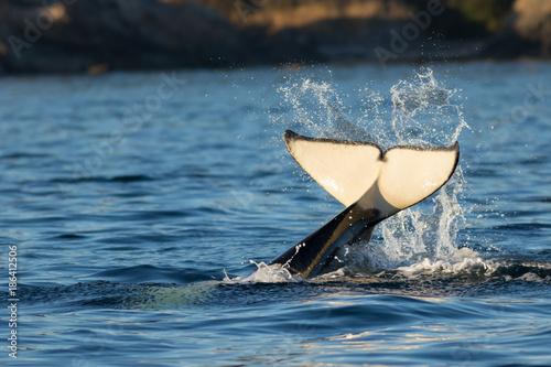Foto op Canvas Natuur Orca Tail Water Splash