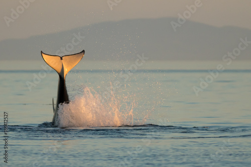 Foto op Canvas Natuur Orca Tail Water Splash at Sunset