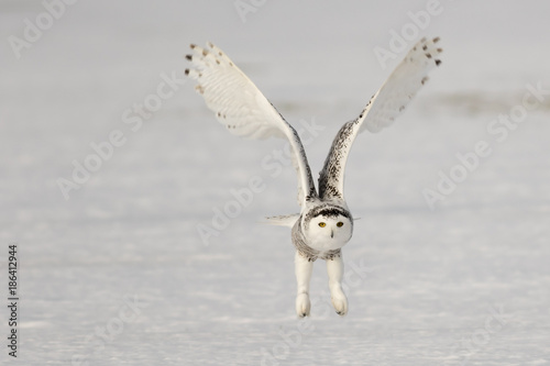 Snowy Owl Flying 7