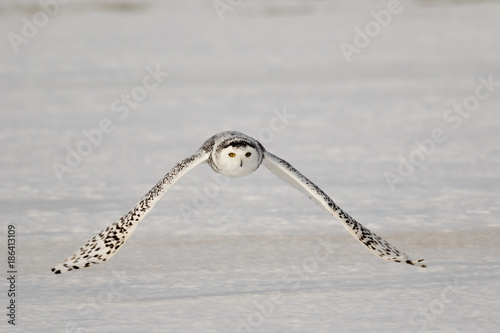 Snowy Owl Flying 3