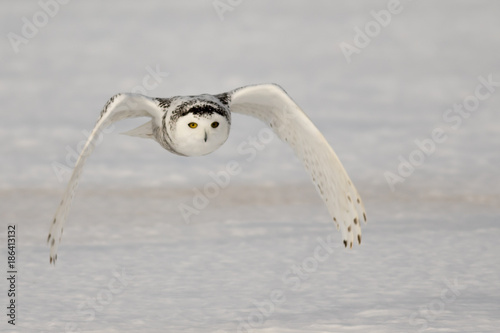 Snowy Owl Flying 2
