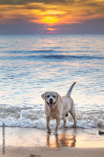 Aluminium Thailand The labrador retriever on tha pattaya beach and sunset sky background