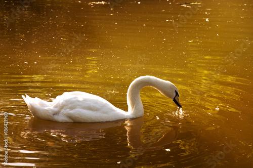 Fotobehang Zwaan white swan swims in the lake.