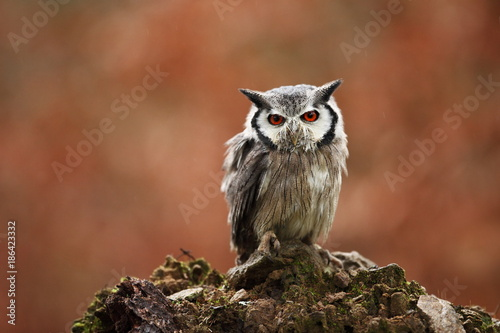Southern White-faced Owl. Ptilopsis grants. African owl. Owl lives on rivers, savannas and forests. A beautiful bird. From Owl's Life. Autumn colors in the photo. Autumn. Africa.