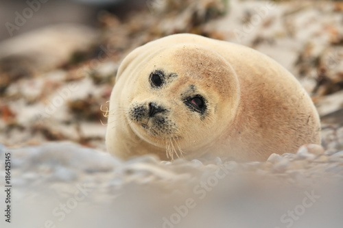 Fotobehang Ijsbeer Phocidae. Beautiful wild nature of the North Sea. Germany. Seal on the beach. Nature of Europe.