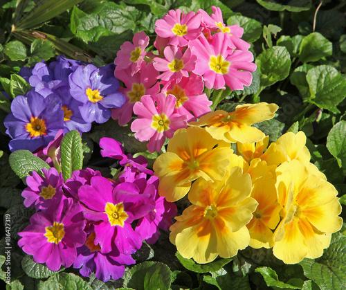 Foto Murales Primevères multicolor