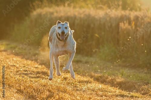 Foto op Canvas Natuur Running Lurcher