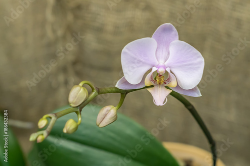 violet blooming orchid - 186432384