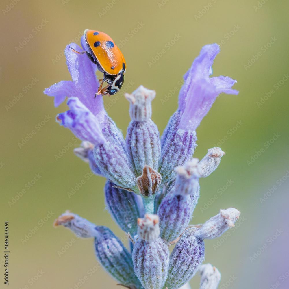 K chenr ckwand aus glas mit foto macro ladybug nikkel - Kuchenruckwand lavendel ...