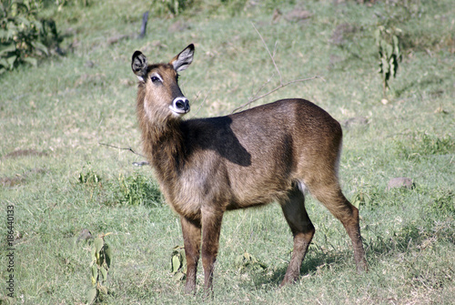 Waterbuck in Samburu National reserve, Kenya