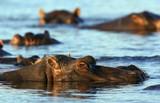 Hippopotamus - Chobe River- Botswana poster