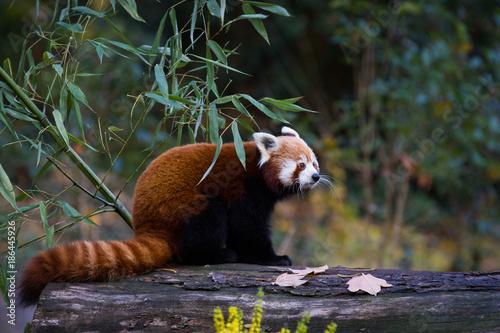 Fotobehang Panda Red panda