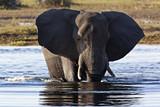 African Elephant (Loxodonta africana) - Botswana poster