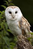 Barn Owl (Tyto alba) - United Kingdom poster