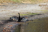 Cormorant bird standing on the lake shoreline with open wings