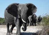 African Elephant - Botswana poster