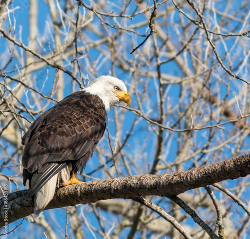 Plexiglas Eagle Bald Eagles
