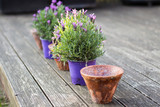 Vintage style flower pots and potted lavender plants, standing in a row on a wooden terrace in the garden. Plants need to be planted in bigger pots. - 186455320