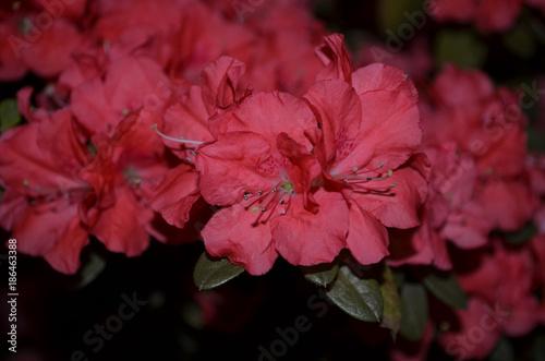 Aluminium Azalea Very Pretty Flowering Pink Azalea Bush in a Garden