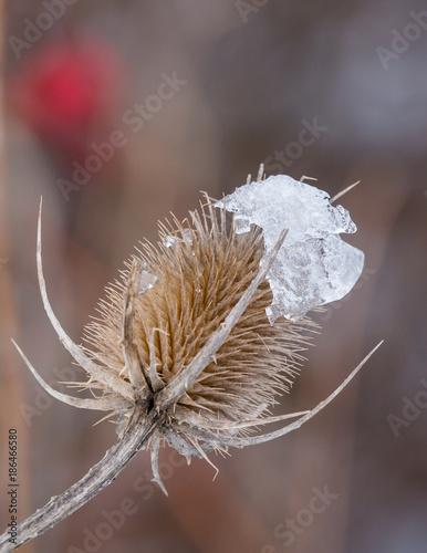 Aluminium Paardebloemen thistle with ice in winter